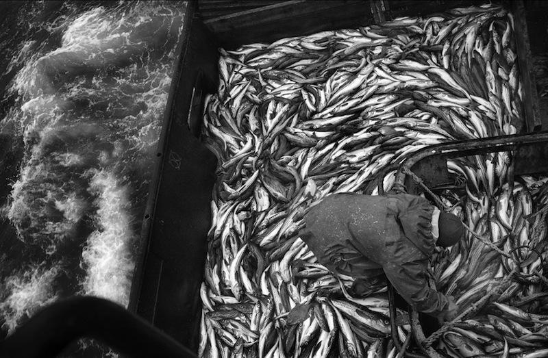 Oleg Klimov Visser sorteert de vangst in het ruim. Ochotka Zee / Kamtsjatka. Augustus 2007 © Oleg Klimov