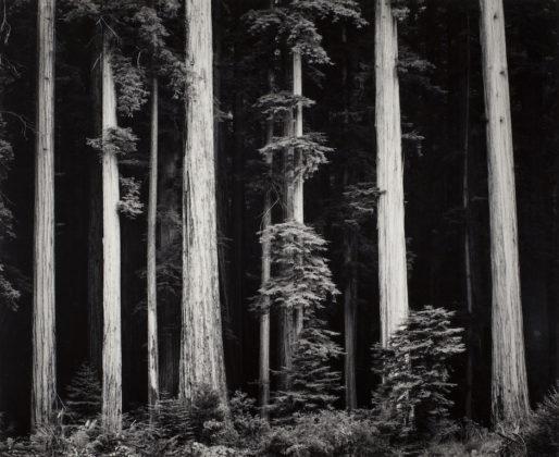 Ansel Adams Redwoods, Bull Creek Flat, Northern California, 1960 ca. stampa alla gelatina d'argento 24 x 29 cm © The Ansel Adams Publishing Rights Trust