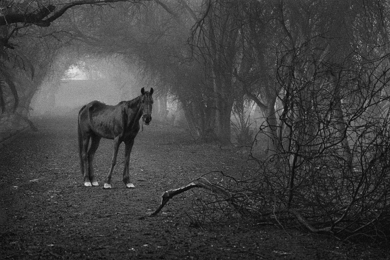 Un cavallo che apparteneva alla scuderia reale cerca erba in un bosco che prima era la sua casa. Kuwait, 1991. © Sebastião Salgado /Amazonas Images/Contrasto