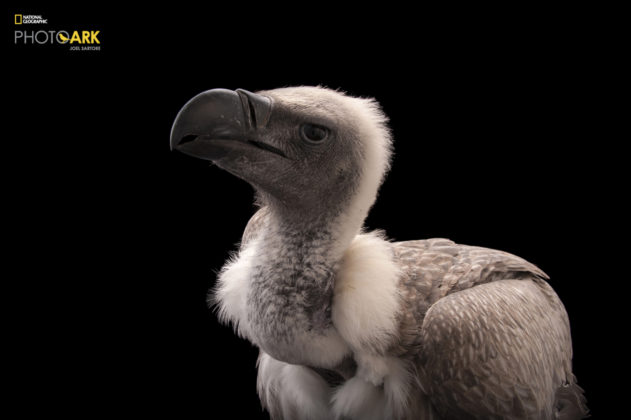 African White Backed Vulture_Gyps africanus_Joel_Sartore_NationalGeographic_PhotoArk