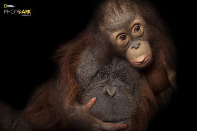 Bornean Orangutan_Pongo pygmaeus_Bornean Sumatran Orangutan_Pongo pygmaeus x abelii_Joel_Sartore_NG_PhotoArk