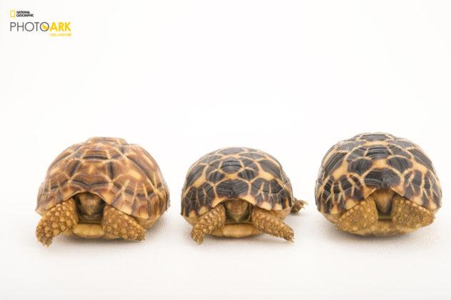 Burmese Star Tortoises_Geochelone platynota_Joel_Sartore_NationalGeographic_PhotoArk