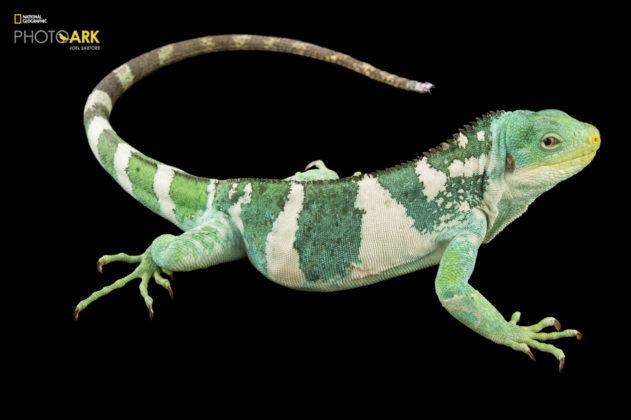 Fiji Island Banded Iguana_Brachylophus fasciatus_Joel_Sartore_NationalGeographic_PhotoArk