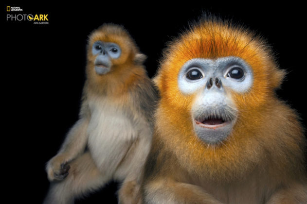 Golden Snub-nosed Monkey_ Rhinopithecus roxellana_Joel_Sartore_NationalGeographic_PhotoArk