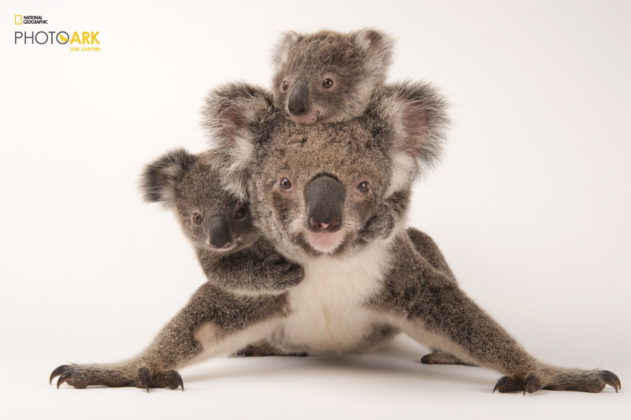 Koala_Phascolarctos cinereus_Joel_Sartore_NationalGeographic_PhotoArk