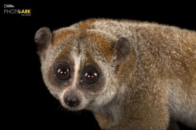 Pygmy Slow Loris_Nycticebus pygmaeus_Joel_Sartore_NationalGeographic_PhotoArk