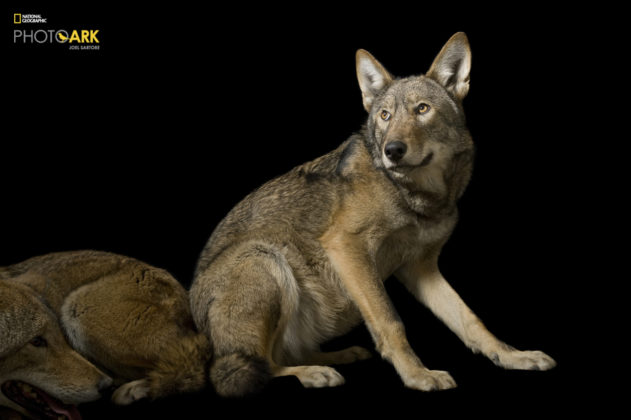 Red Wolves_Canis rufus gregoryi_Joel_Sartore_NationalGeographic_PhotoArk