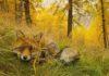 Stefano Unterthiner mostra forte di bard volpe bosco