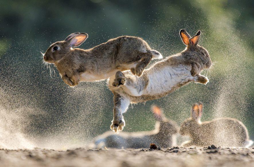 Selvatica mostra virtuale conigli Csaba Daroczi