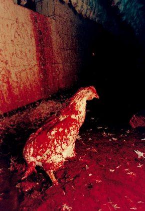 Dal Gal Chicken Story