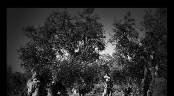 Francesco Bosso puglia ulivi