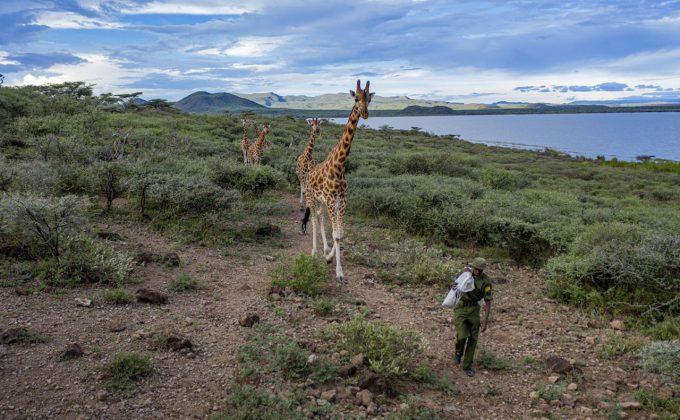 Ami Vitale Giraffe Rescue